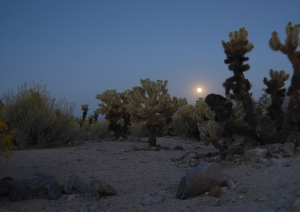 The Cholla Garden under a rising moon